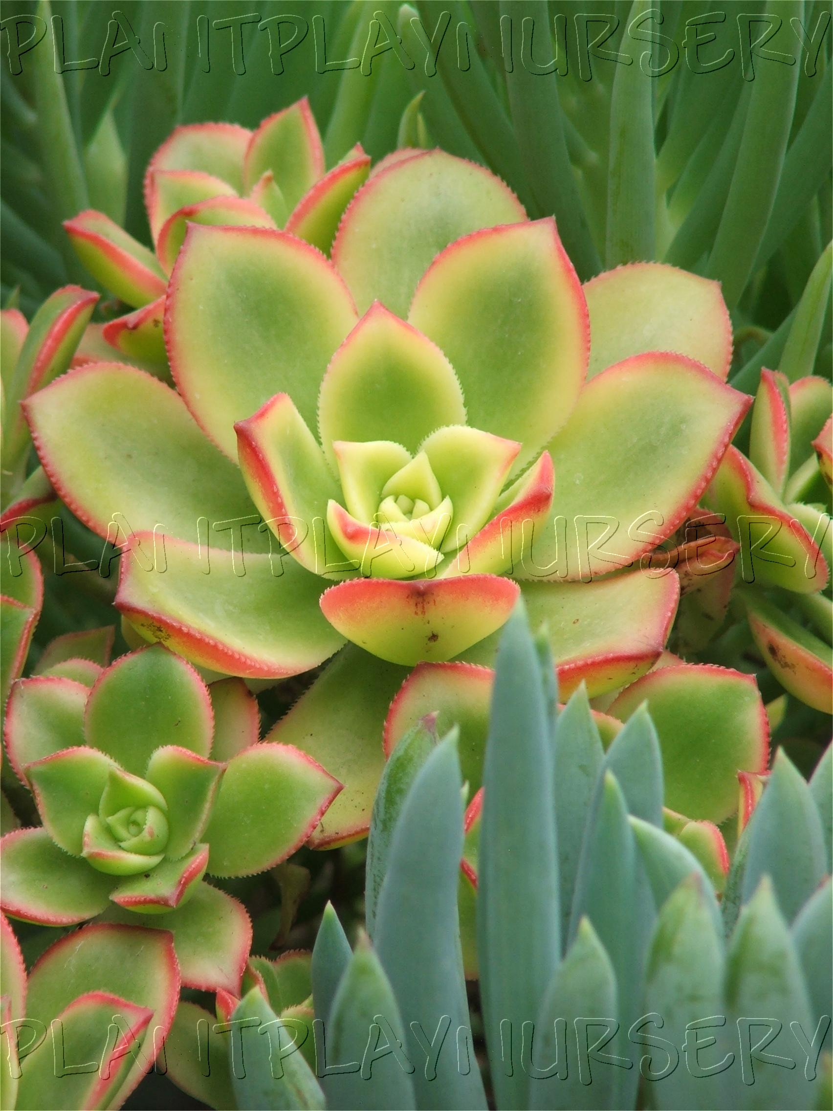 Succulents for Plant nursery